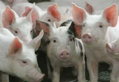 porc-irlandais-a-la-dioxine1228671317